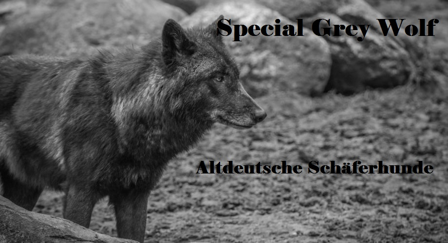 special grey wolf